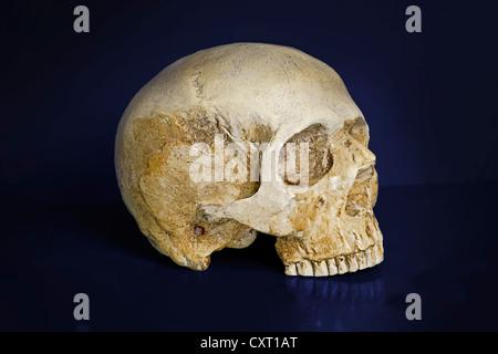 Crâne humain, Homo sapiens Banque D'Images