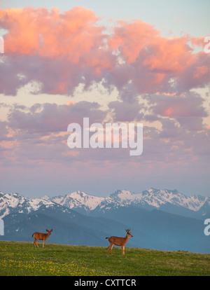 Olympic National Park, Washington: une paire de cerfs à queue noire sur l'ouragan colline sous le coucher du soleil Banque D'Images