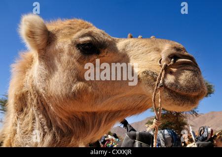 Le dromadaire ou chameau d'Arabie (Camelus dromedarius), portrait, Adrar Tekemberet, Immidir, Algérie, Sahara, Afrique Banque D'Images
