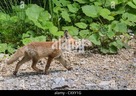 Les jeunes Red Fox (Vulpes vulpes) marcher le long d'un chemin forestier, la vallée de l'Isar, Bavière Banque D'Images