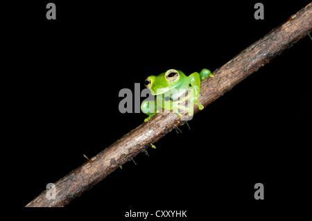 Glas frog (Cochranella midas), assis sur une branche, Lake Balaton forêt tropicale, Parc national Yasuni, en Equateur, Banque D'Images