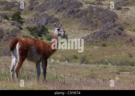 Un wild guanaco (Lama guanicoe) debout sur un pré, Cochrane, région de Aysen, Patagonie, Chili, Amérique du Sud, Amérique Latine