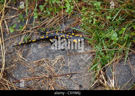 (Salamandra salamandra salamandre de feu), près de Lionza, Tessin, Suisse, Europe Banque D'Images
