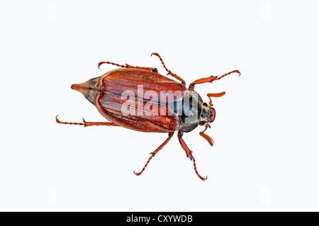 Catégorie: commun ou ne bug (Melolontha melolontha)