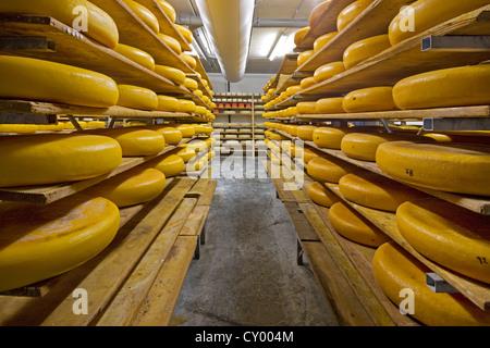 Artisan régionaux fromages roue vieillissement sur étagères en fromagerie, Belgique Banque D'Images