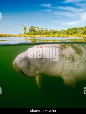 Floride, Trichechus manatus lamantin latirostris, Crystal River, Florida, USA Banque D'Images