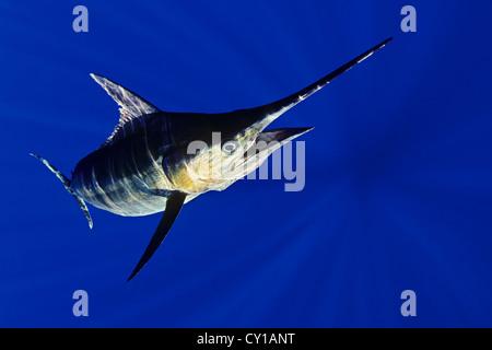Le makaire bleu, Makaira nigricans, Big Island, Hawaii, USA Banque D'Images