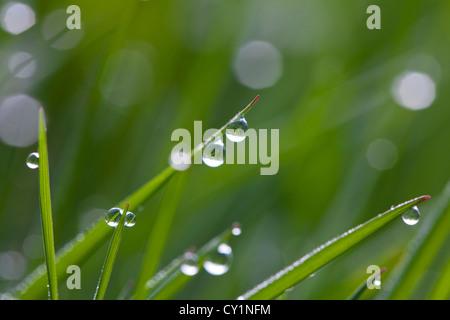 Close up de rosée sur les brins d'herbe dans le pré en début de matinée