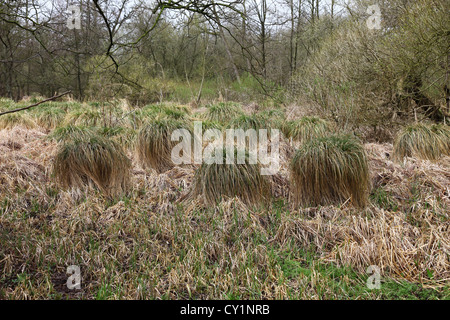 Tussock (Carex stricta) à Jackson's Coppice Staffordshire England UK Banque D'Images