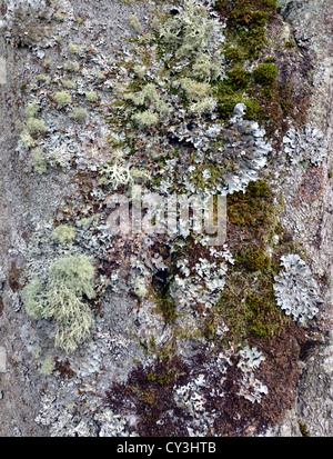 (Lichens Usnea et Hypogymnia physodes) et de mousses sur tronc d'arbre Banque D'Images
