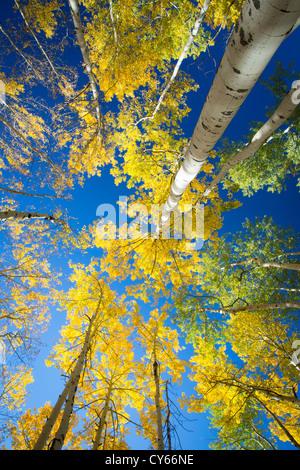 Aspen Grove en couleurs d'automne dans les montagnes de San Juan au Colorado Banque D'Images