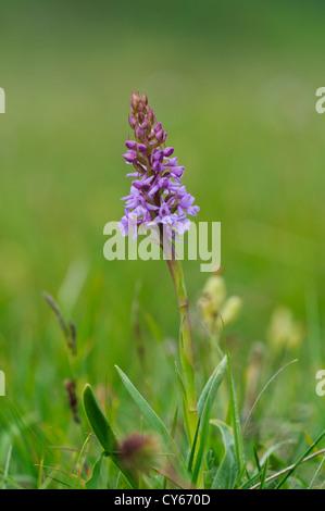Une orchidée parfumée de craie (Gymnadenia conopsea) floraison dans les herbages à Parkgate par Kent. juin. Banque D'Images