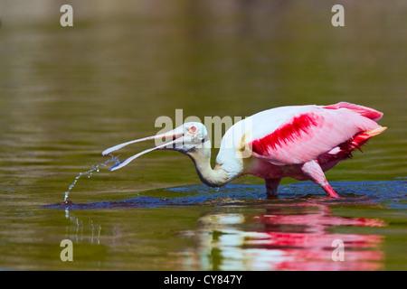 Roseate spoonbill (Platalea ajaja) plumage d'été adultes,la capture du poisson, Everglades, Florida, USA Banque D'Images