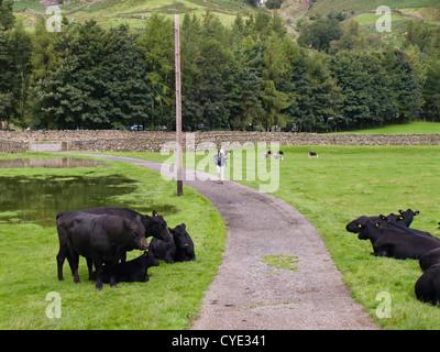 À partir d'une randonnée à Langdale près de Dungeon Ghyll, champ avec, espérons-le, les vaches au pâturage amical Banque D'Images