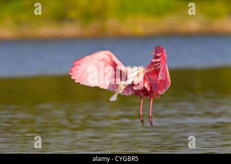 Roseate spoonbill Platalea ajaja (adultes) L'atterrissage sur l'eau, l'Everglades, Florida, USA Banque D'Images