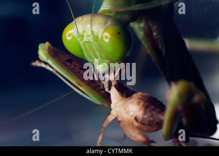 Une macro shot d'une mante religieuse australienne de cricket de l'alimentation Banque D'Images