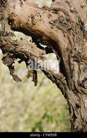 Apple orchard oublié laissés à pourrir close up detail de l'arbre mort avec de l'écorce s'est détachée du tronc Banque D'Images