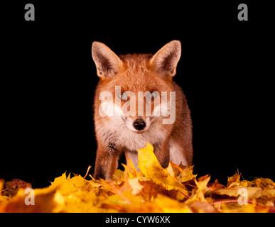 Red Fox jusqu'fermer Banque D'Images