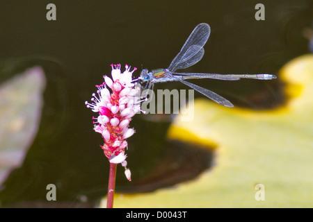 Demoiselle d'Émeraude sur une fleur