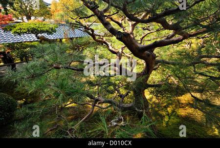 Pin tordu dans un jardin le long du chemin des philosophes, Kyoto, Japon Banque D'Images