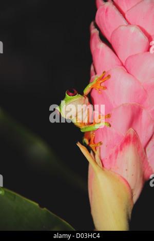 Parapente, deltaplane Rainette, la grenouille feuille Spurrell (Agalychnis spurrelli) assis sur une fleur de gingembre Banque D'Images