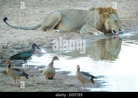 L'Afrique de l'homme lion Panthera leo potable Mikumi dans Game Reserve . Le sud de la Tanzanie.