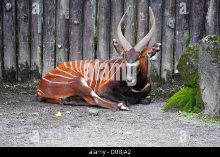 Bongo (antilope) qui reste à faire Banque D'Images