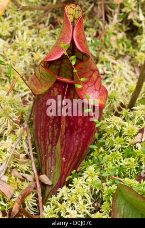 Le nord de la sarracénie pourpre (Sarracenia purpurea), au nord de la Tourbière, Springfield, Missouri, Close up
