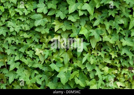 Lierre sur un mur de briques Banque D'Images