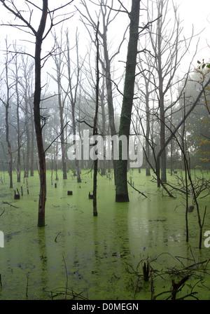 Arbres morts dans la brume du matin sur le marais. Banque D'Images