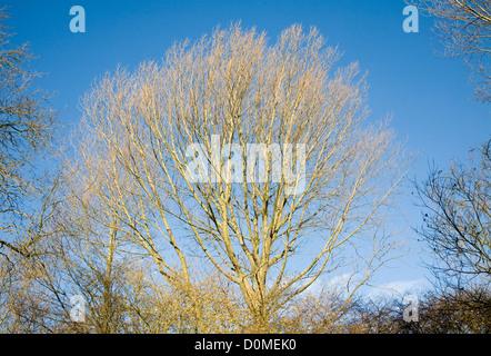 Branches sans feuilles d'arbres décidus contre le ciel bleu Banque D'Images