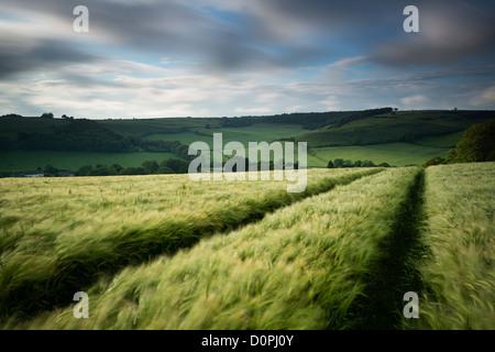 Un champ d'orge, nr Plush, Dorset, England, UK Banque D'Images