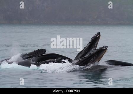 Les baleines à bosse sur une jambe l'alimentation, Kenai Fjords National Park, près de Seward, en Alaska. Banque D'Images