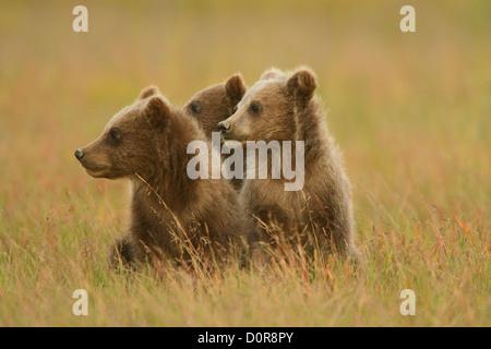 Brown triplet ou Grizzly bear cubs printemps, Lake Clark National Park, Alaska.