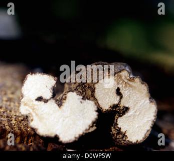 Truffes Blanches d'été éventrés. ©mak Banque D'Images
