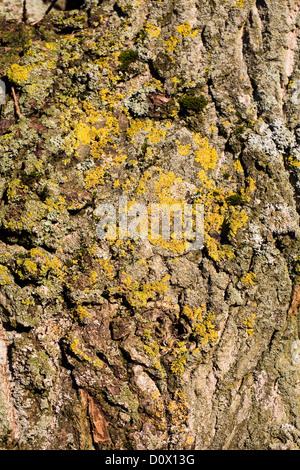 Les lichens et mousses couvrant l'écorce des arbres. Banque D'Images