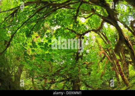 Hoh Rainforest, Olympic National Park, Washington, USA Banque D'Images