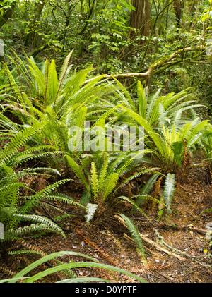 Fougères poussant dans la forêt tropicale, la réserve forestière de Catlins, île du Sud, Nouvelle-Zélande; près de purakaunui falls.