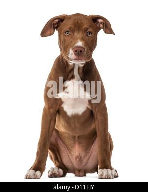 American Staffordshire Terrier puppy, 4 mois, assis et regardant la caméra contre fond blanc