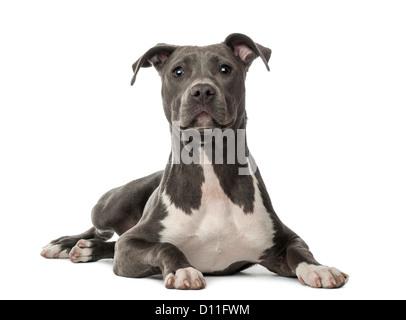 American Staffordshire Terrier puppy, 6 mois, couché et regardant la caméra contre fond blanc
