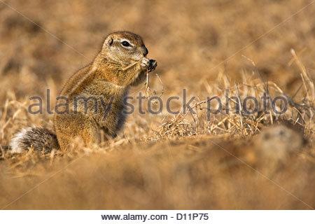 (Ha83 inauris) dans le désert de Kalahari, Kgalagadi Transfrontier Park, Afrique du Sud Banque D'Images