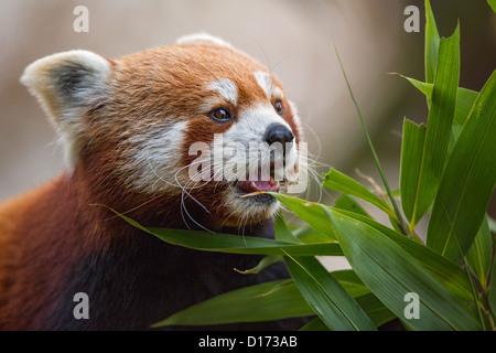 Close-up d'un panda rouge (Ailurus fulgens) l'alimentation. Des animaux en captivité dans un zoo. Banque D'Images