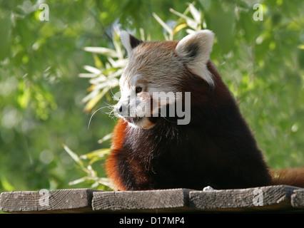 Le panda rouge, Ailurus fulgens, Ailuridae. Un petit mammifère arboricole originaire de l'Himalaya oriental et le Banque D'Images