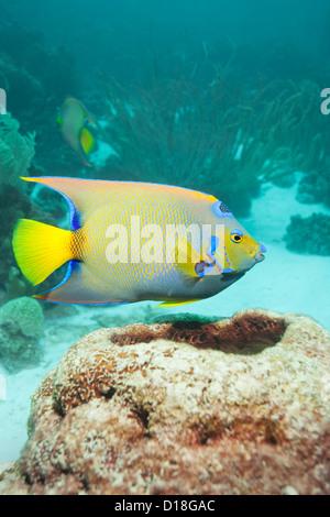 La natation au récif sous-marin poissons-anges Banque D'Images