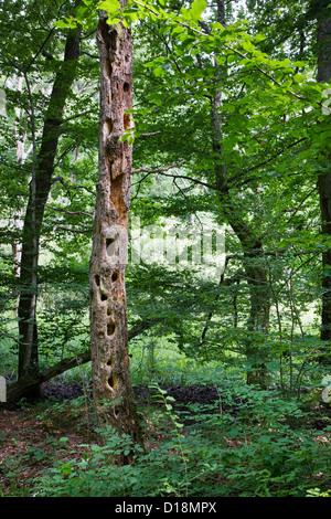 Tronc d'arbre mort dans la forêt criblée par altérés de grands trous de pic-bois Banque D'Images