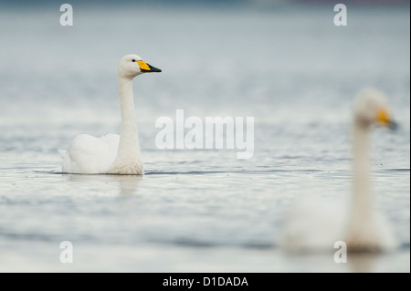 Un cygne chanteur photographié sur la rivière Doon, en Écosse. Banque D'Images