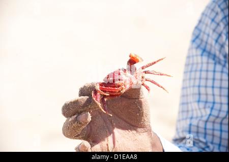Man holding crabe rouge, unique à Odisha, Astiranga, Odisha, Orissa, Inde, Asie Banque D'Images