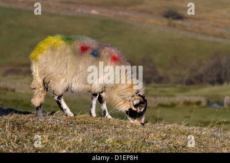 Brebis d'élevage de moutons Swaledale __ Close-up troupeau troupeau de moutons dans la région de Hawes , Lozère Banque D'Images