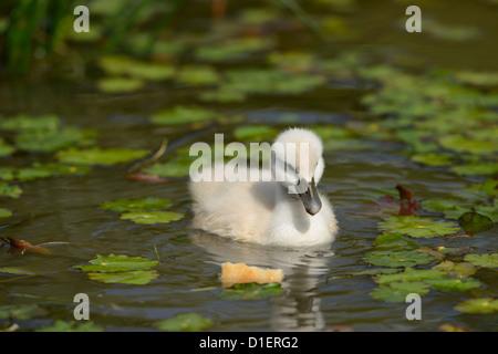 Poussin le Cygne tuberculé (Cygnus olor) flottant sur l'eau Banque D'Images