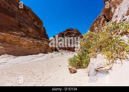 Un seul bush dans un canyon désert de sable Banque D'Images